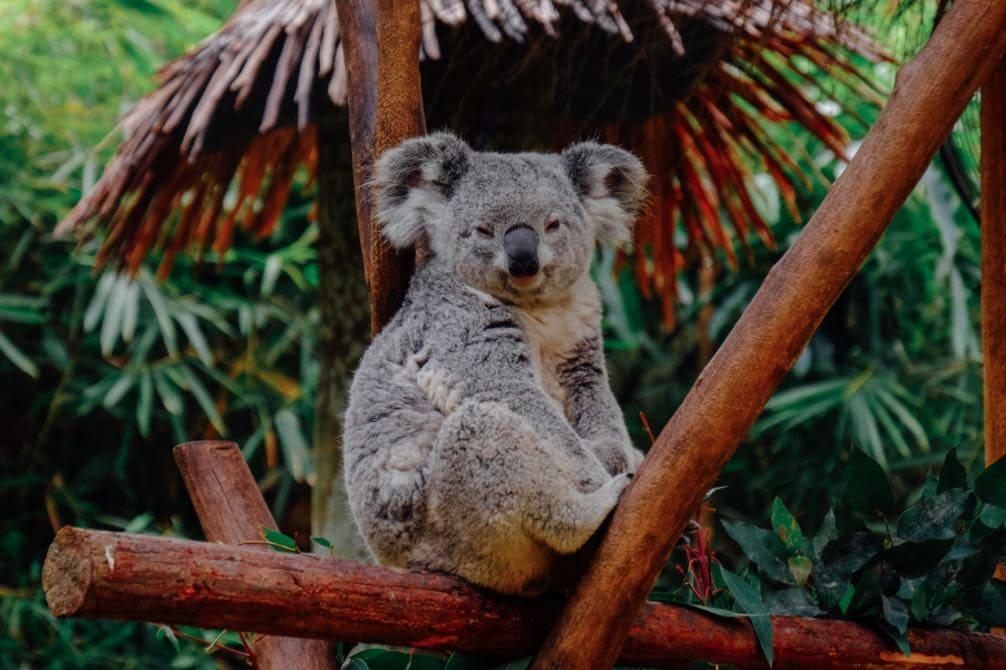 koala ask melbourne