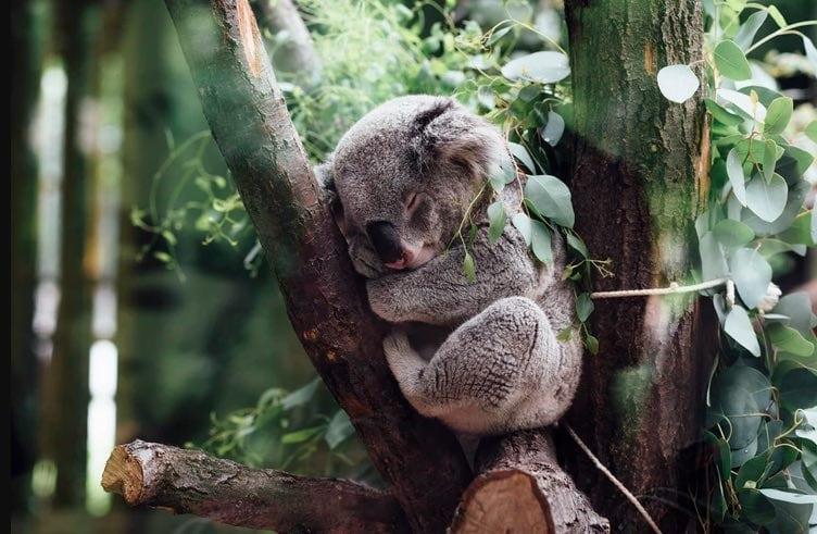 koala melbourne