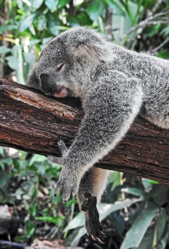 koala sleeping ask melbourne