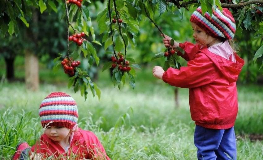 ripe 'n' ready cherry farm ask melbourne
