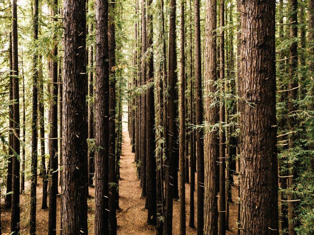 Californian redwoods plantations